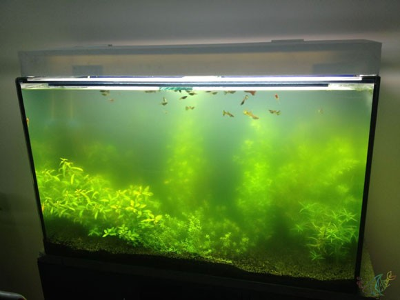 Как избавиться от зеленых водорослей