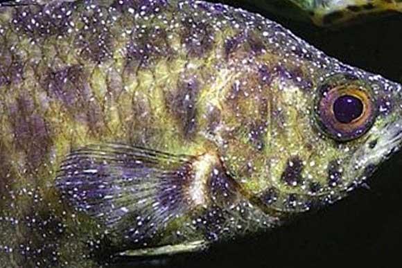 Заболевания аквариумных рыб