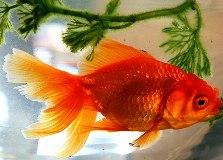 Аквариумные рыбки золотые