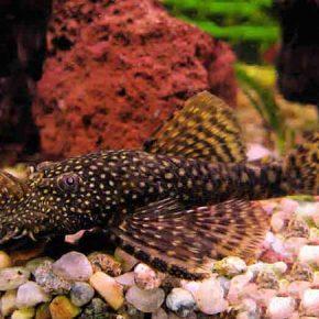 Коричневые водоросли в аквариуме как бороться