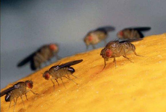 Плодовая муха