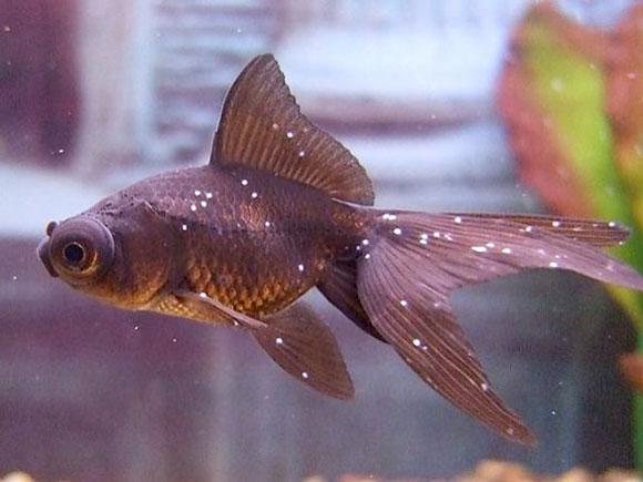 Лечение аквариумных рыб-ихтиофтириоз