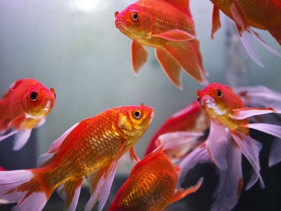 Живой корм для малька золотой рыбки