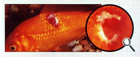 Лечение аквариумных рыб - ихтиоспоридиоз