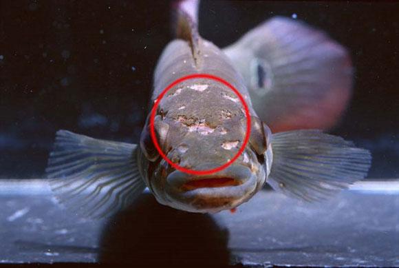 Лечение аквариумных рыб-ихтиоспоридиоз