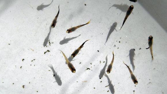 Живой корм-советы рыборазводчику