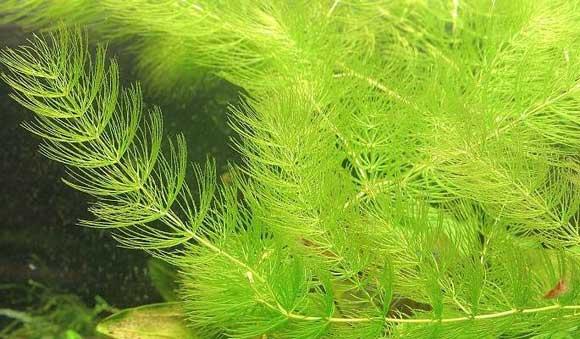 Роголистник в аквариуме