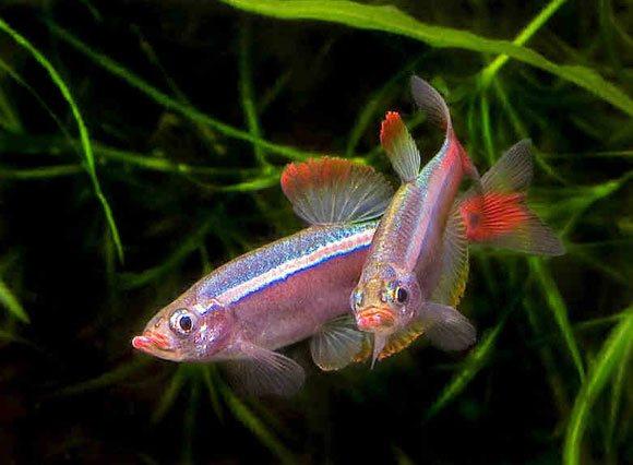 Рыбки кардиналы