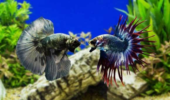 Рыбки петушки: уход и содержание