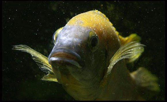 Рыбки цихлиды