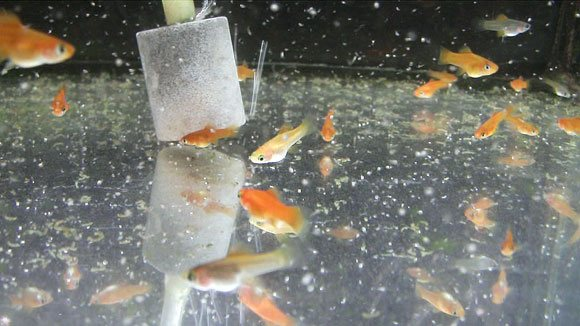 Рыбка меченосец размножение