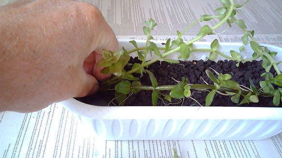 Бакопа каролинская в открытом грунте