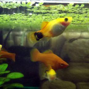 Пецилия: содержание, уход и размножение в аквариуме