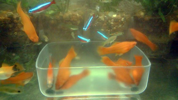 Корм для рыб спирулина