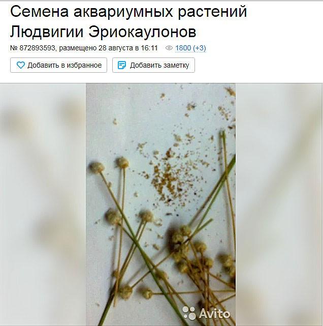 Людвигия аквариумное растение содержание