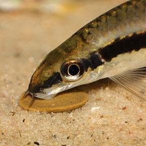 Сиамский водорослеед уход и содержание в аквариуме