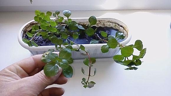Людвигия аквариумное растение содержание и разведение