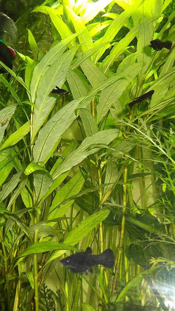 Лимонник аквариумное растение