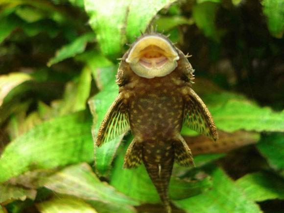 Улитки катушки в аквариуме