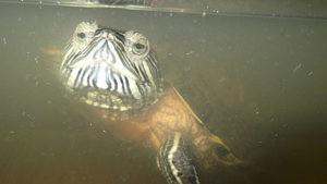 Красноухая черепаха кормилица рыбок