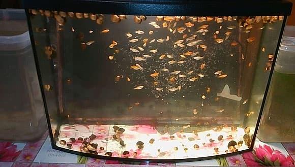 Аулофорус: как правильно кормить малька и взрослых рыб