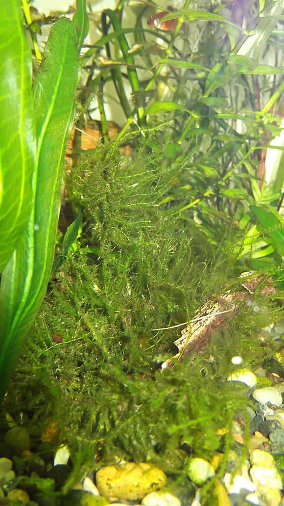 Лесной мох в аквариуме