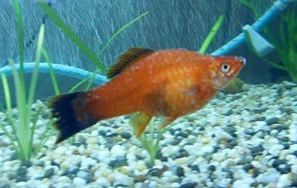 Температура воды для аквариумных рыбок